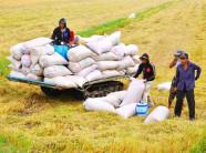 Thương lái tranh mua lúa đông xuân sớm, trả giá cao vọt