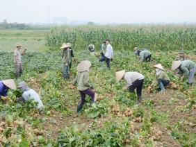 Củ đậu cũng làm VietGAP, nông dân vui như tết vì được mùa, được giá