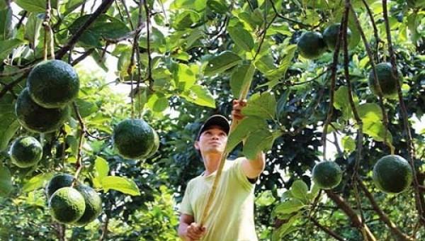"""Dân Trung Quốc """"mê"""" ăn quả bơ như điếu đổ, lượng mua sẽ tăng mạnh"""