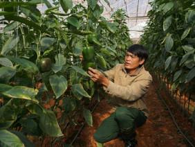 """""""Bí kíp"""" trồng ớt ngọt thu 2 triệu/ngày của nhà nông Đà Lạt"""