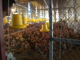 Ứng dụng công nghệ sinh học nuôi gà đẻ trứng, lãi trên 700 triệu/năm