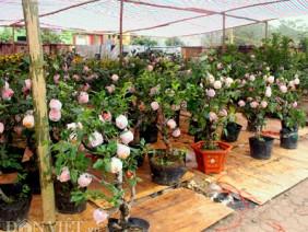 Táo cảnh Trung Quốc tiền triệu/chậu: Cả ngàn cây hết veo trong