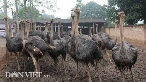 """Chỉ chăm 600 con """"chim khổng lồ"""" là có tiền rủng rỉnh tiêu Tết"""