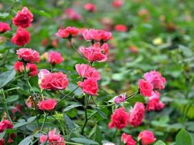 """Ai trồng gì thì trồng, lão nông này vẫn mê hoa hồng """"độc, lạ"""""""