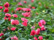 Ai trồng gì thì trồng, lão nông này vẫn mê hoa hồng