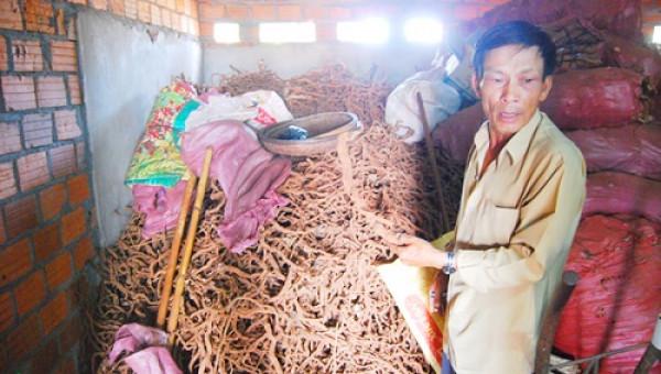 Thương lái Trung Quốc mua rễ hồ tiêu: Có thể phá hoại?