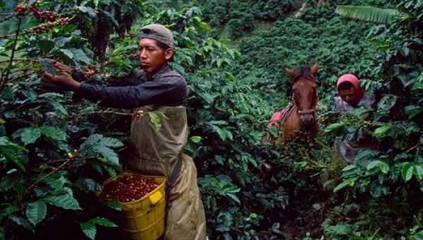 Nông dân Nam Mỹ chủ yếu trồng cà phê Arabica, đổ xô sang Robusta