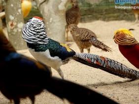 Đã mắt ngắm trang trại hàng trăm con chim quý ở Quảng Ngãi