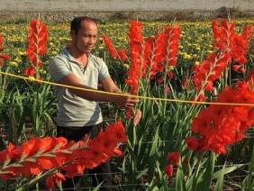 Trồng 1ha hoa lay ơn, cúc, lãi 600 triệu/năm