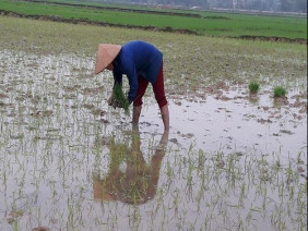 """Bán giống lúa Nhị Ưu 838 """"đểu"""" cho nông dân rồi... bỏ chạy"""