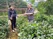 Chỉ có 1.000m2 trồng chè tím quý hiếm, thu 15-20 triệu/lứa