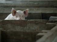 Alibaba giúp phát triển trí tuệ thông minh trong chăn nuôi lợn