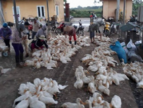 Hà Nội lo cúm gia cầm H7N9 ập đến bất cứ lúc nào