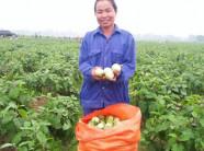 Cà dừa bán chạy