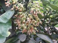 Hòa Bình: Nông dân khóc ròng vì bưởi rụng hết hoa còn toàn... lá