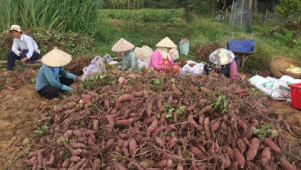 Dỡ bán có hơn nửa ha khoai lang đất giồng, lãi ròng 100 triệu