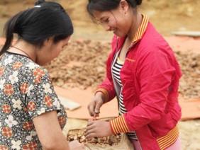 """""""Giải cứu"""" thành công 70 tấn nghệ đỏ của đồng bào Mông, Thái"""