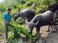 Kỹ thuật chăn nuôi trâu bò cái sinh sản ở Việt Nam