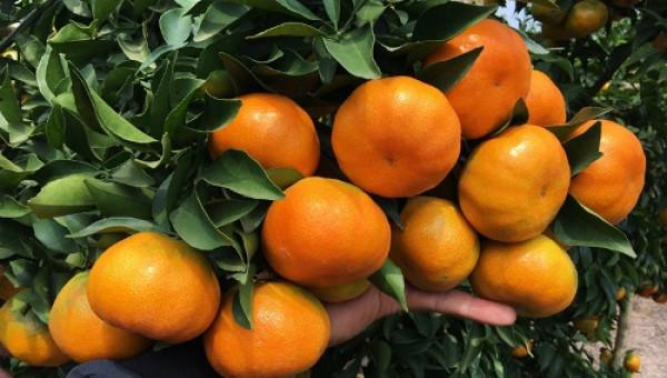 Vườn cam VietGAP có hơn 200 công nhân chăm bón, thu đều 2 tỷ/năm