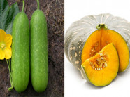 Nắm bắt thời vụ trồng bí xanh và bí đỏ cho năng suất cao