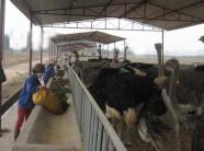 Xây dựng mô hình kỹ thuật chăn nuôi đà điểu