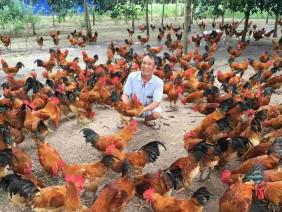 Quy trình và kỹ thuật chăn nuôi gà thịt thả vườn