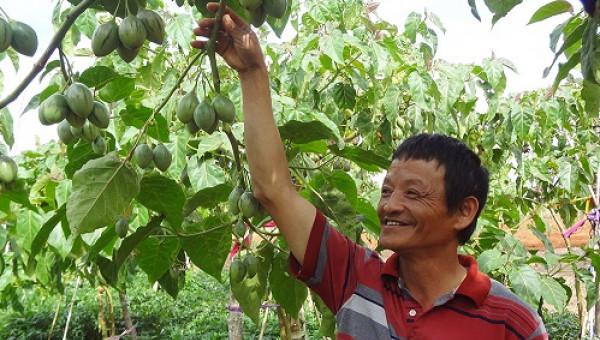 """Phát """"sốt"""": Trồng cà chua thân gỗ, giá 150.000kg không có mà bán"""