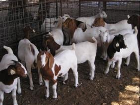Kỹ thuật chăn nuôi dê thịt và dê sinh sản