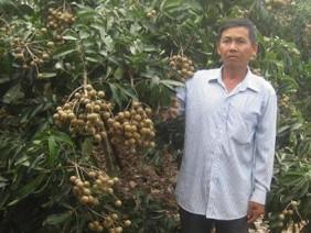 Bí kíp thu lãi 2 tỷ/năm chỉ nhờ trồng nhãn của lão nông Bến Tre