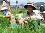 Trồng hành hoa nhẹ công, nông dân Võng Xuyên dễ dàng thu tiền tỷ