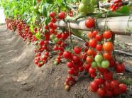 Thời vụ trồng cà chua ở miền Bắc vào tháng mấy?