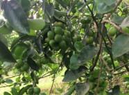 Vườn chanh xuất khẩu 20 ha của nông dân Bình Dương