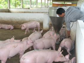 Quy trình và kỹ thuật chăn nuôi heo thịt hiệu quả