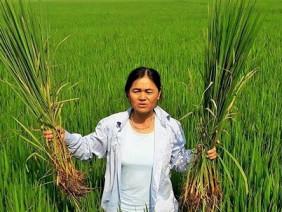 """Nông dân Thanh Hóa đau đầu với cây """"lúa nhưng không phải lúa"""""""