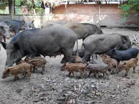 Kỹ thuật chăn nuôi heo rừng theo mô hình