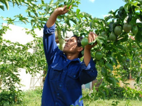 Lại lên cơn sốt chanh dây: Nông dân cần phải làm gì?