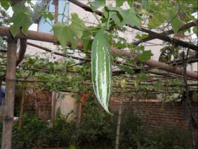 Kỹ thuật và thời vụ trồng cây lặc lày