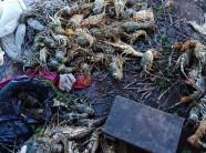 Khánh Hòa: Tôm hùm chết hàng loạt, dân vội bán tháo giá 300.000đ/kg