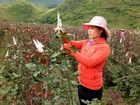 Bỏ việc nhà nước về trồng 6ha hoa hồng, lãi 40 triệu/tháng