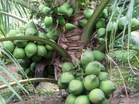 """Trồng dừa """"lạ"""" cây 1m đã có quả, bán cả trái và giống thu tỷ bạc"""