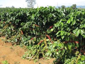 Kỹ thuật trồng cà phê xanh lùn năng suất cao ở Tây Nguyên