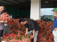 Bắc Giang: Người trồng vải thiều tha thiết kêu gọi đừng... giải cứu