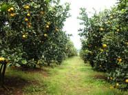 Kỹ thuật trồng cây cam xoàn năng suất thu hoạch cao