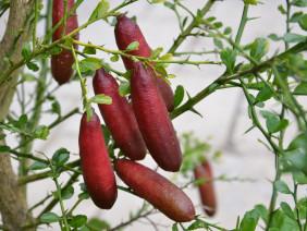 Mách bạn cách trồng chanh ngón tay dễ ợt cho năng suất cao