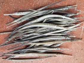 Thương lái Trung Quốc mua cá lìm kìm gai: Giá cá tăng 1,3 triệu/kg