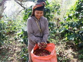 """Mùa thu hoạch cà phê Sơn La, được bao nhiêu thương lái """"khuân"""" hết"""