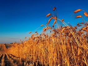 Nóng: Sẽ xem xét dừng nhập khẩu lúa mì nhiễm cỏ kế đồng