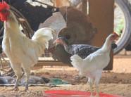 Thực hư chuyện: Lạ đời đặc sản gà re siêu quý hiếm bán giá bình dân
