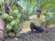 Kiếm bộn tiền nhờ trồng dừa thơm mùi lá dứa, trái sát đất