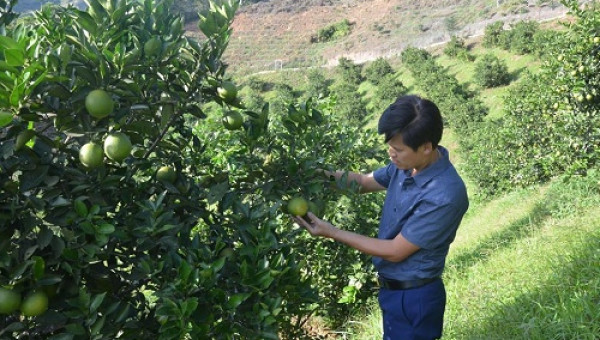 Chán cà phê, trồng cam Vinh trên sườn đồi, lãi 500 triệu/năm